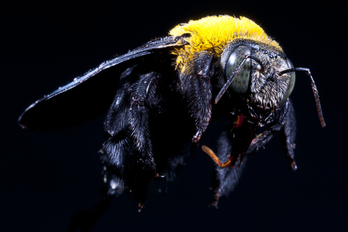 Have Buckmaster deal with carpenter bees in your property